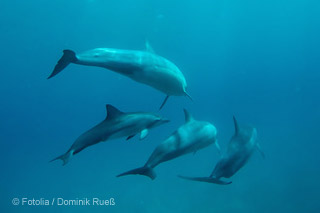 Mosambik-Delfine